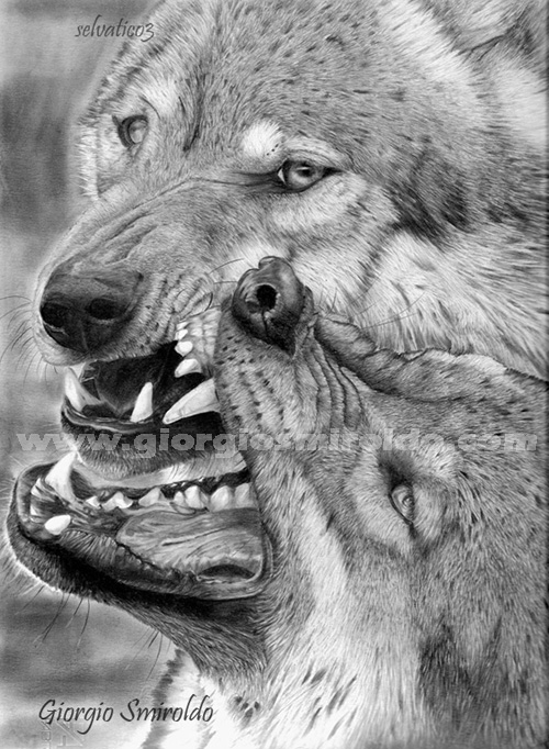 Realistic Drawings Of Wolves Growling Disegni matita - &quot...