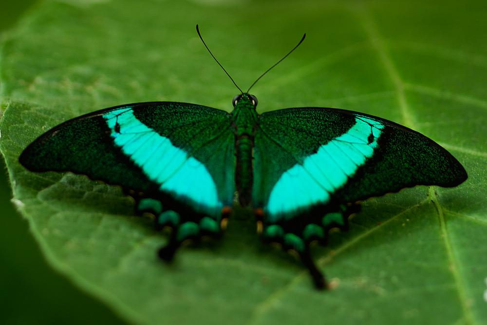 farfalle esotiche da id natura nel mondo forum