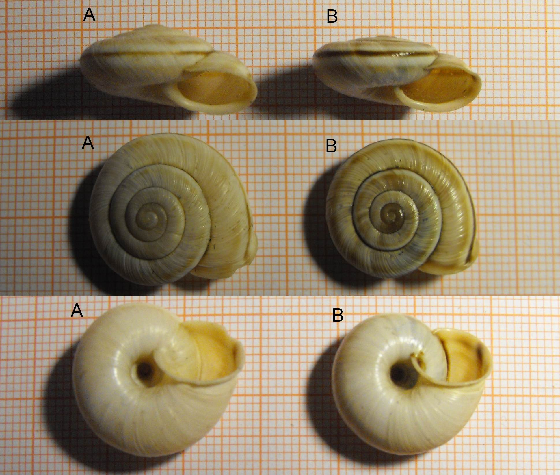 Chilostoma cingulatum asperulum (Ehrmann, 1910)