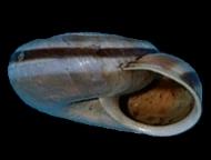 Tabella Chilostoma cingulatum (studer, 1820 )
