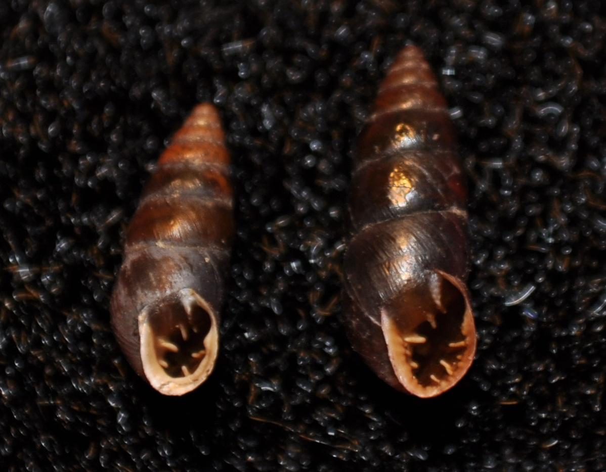 Chondrina megacheilos frassineiana