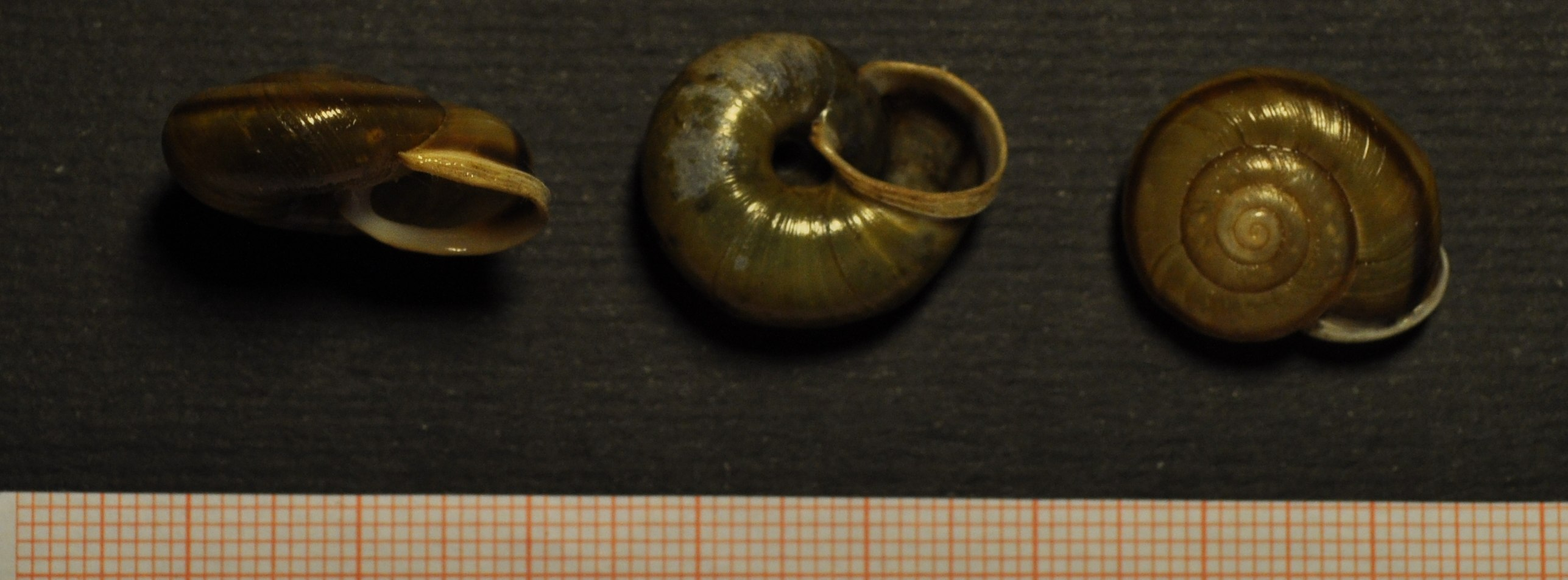 Chilostoma millieri (Bourguignat, 1880)