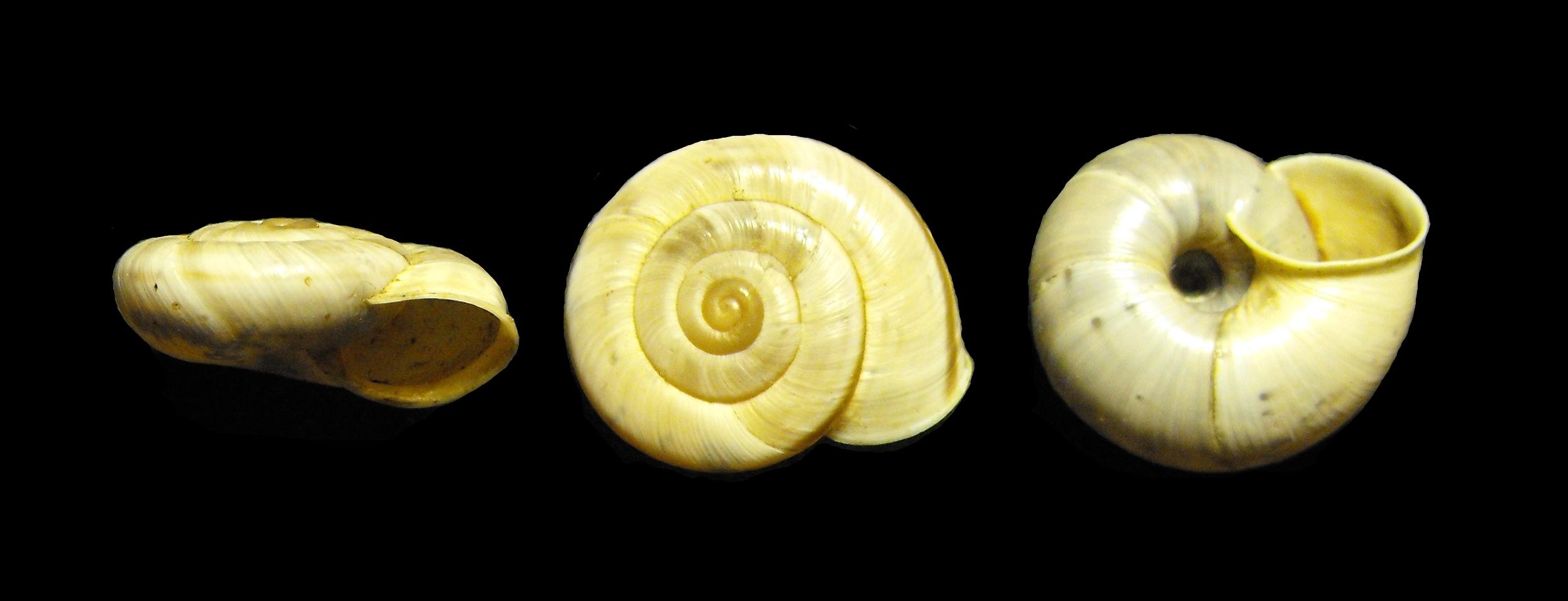 Chilostoma cingulatum nicatis (Costa, 1836)