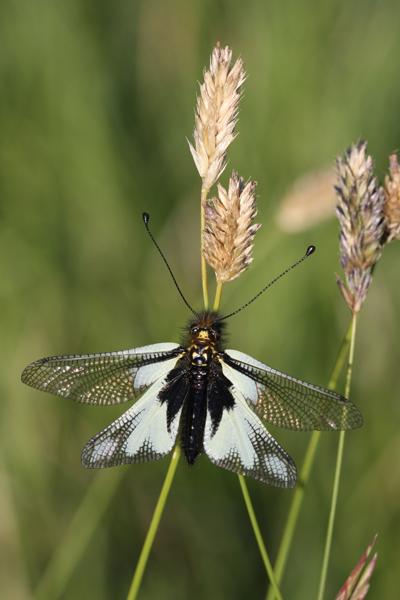 Libelloides