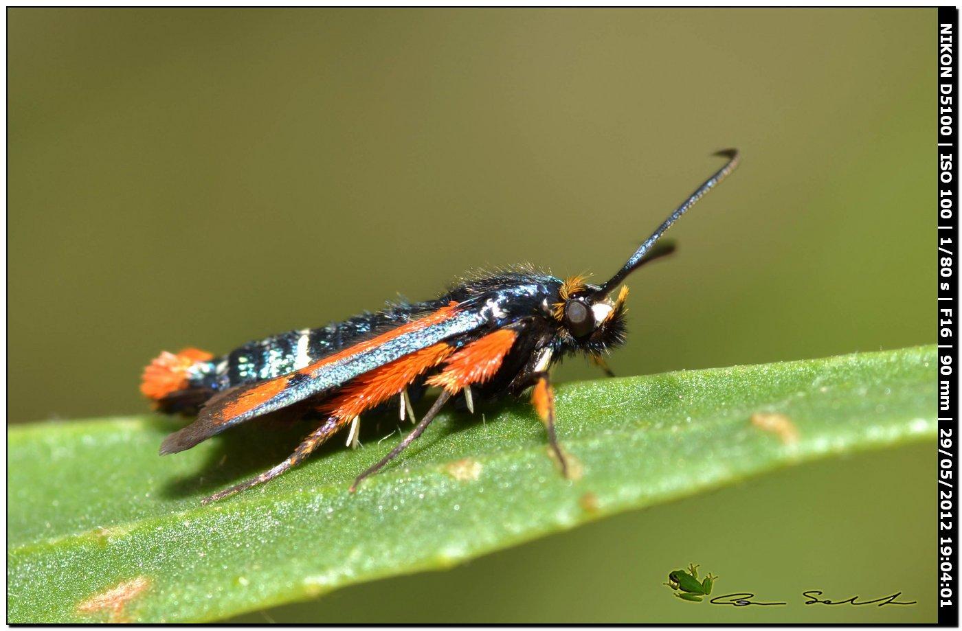 Pyropteron chrysidiforme, Sesiidae