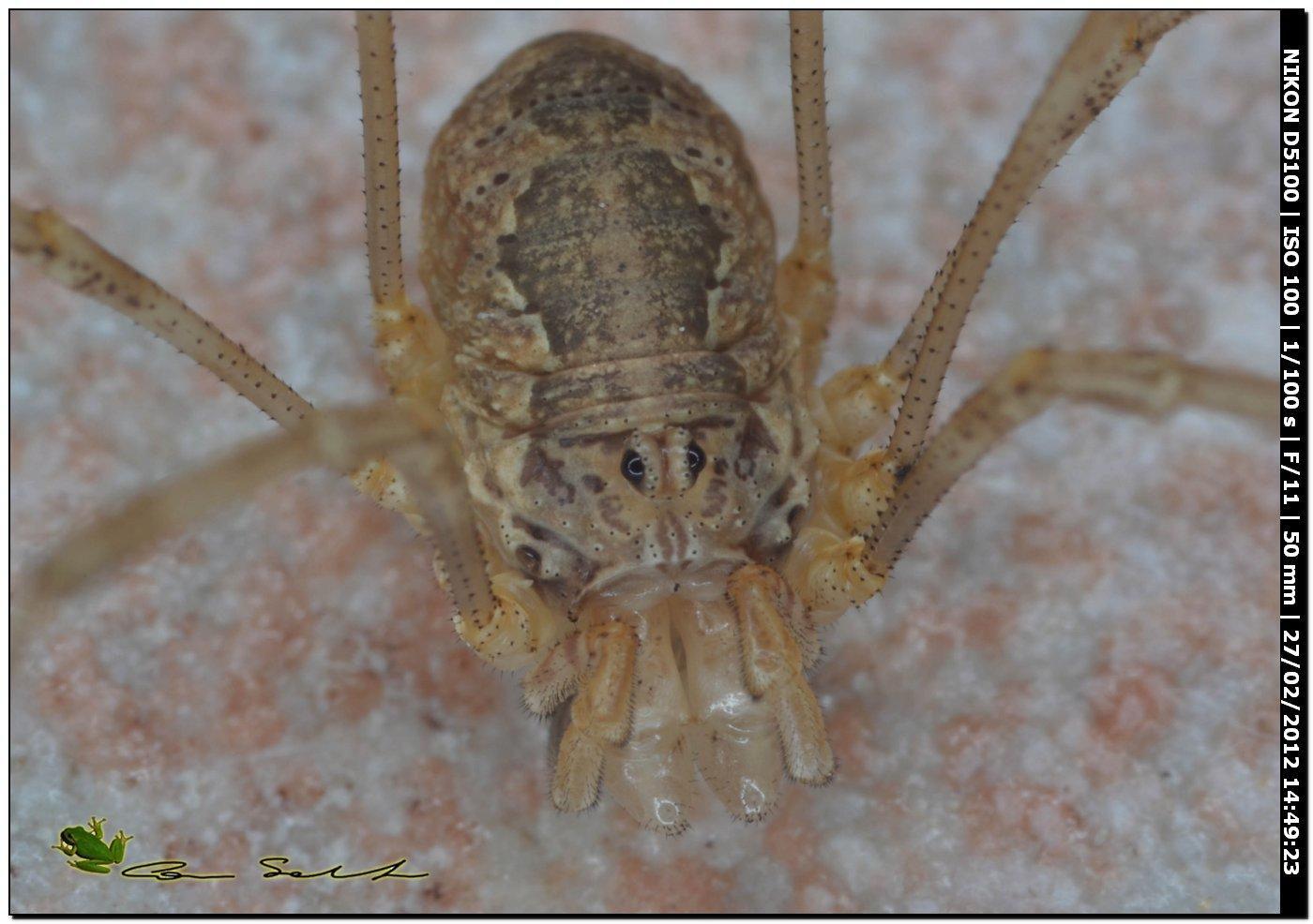 Opilione da Usini 31: Phalangium targionii