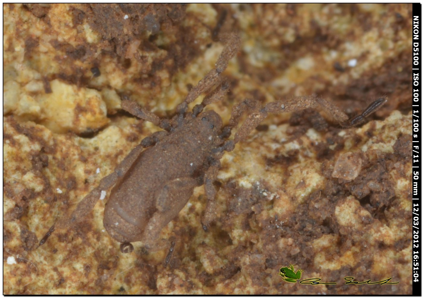 Anelasmocephalus brignolii da Usini - No 44