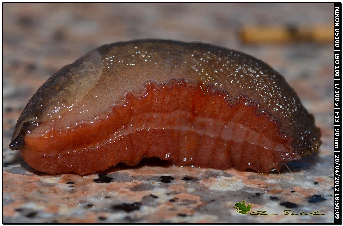 Limax del corsicus-gruppo da Ittiri/Sardegna