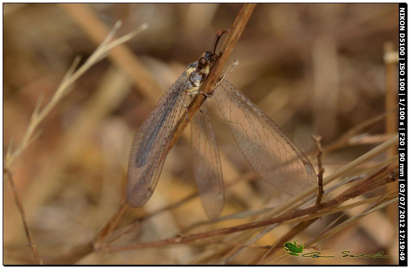 Myrmeleontidae, Macronemurus appendiculatus?