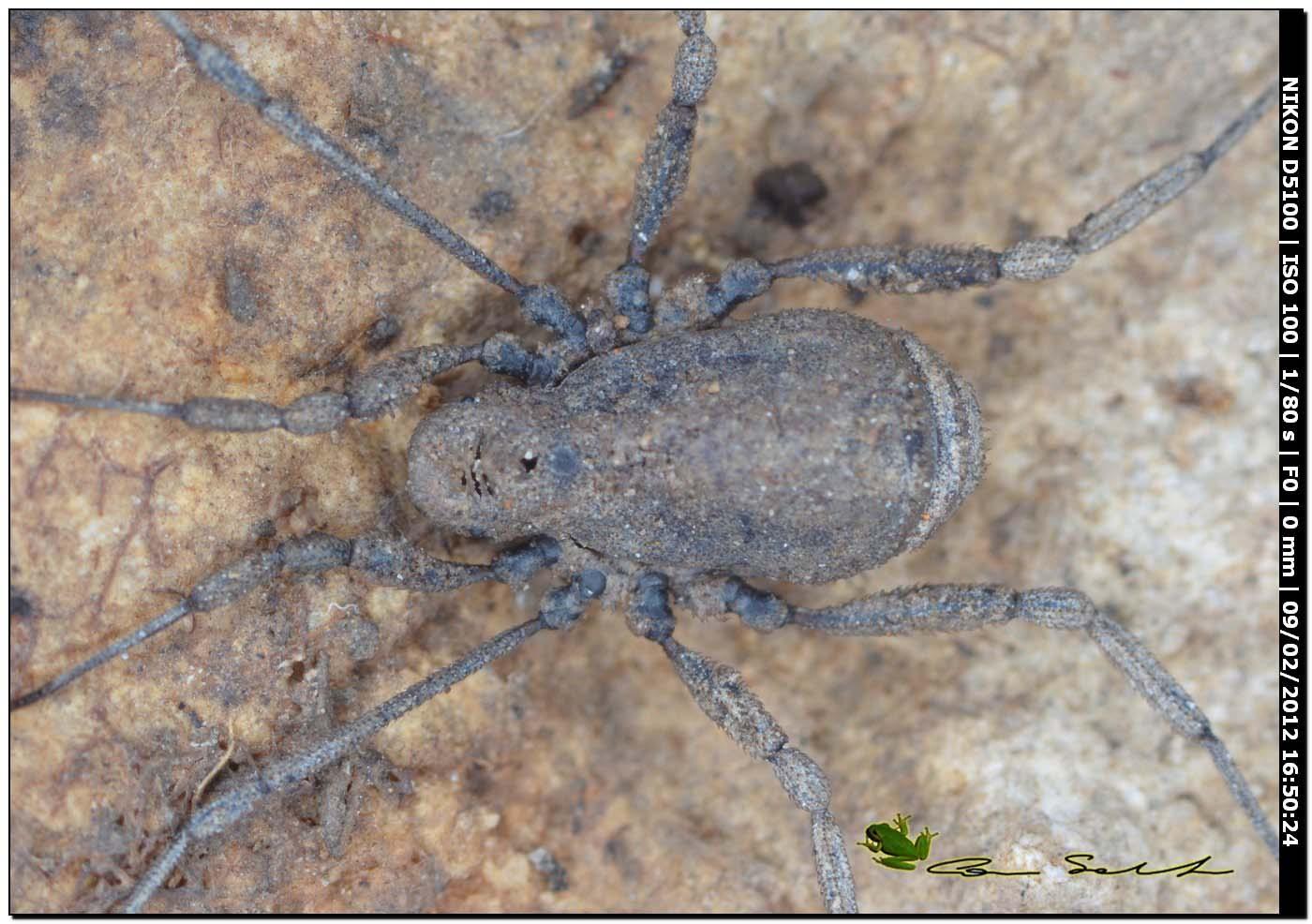 Dicranolasma soerenseni (m) della Sardegna (SS)