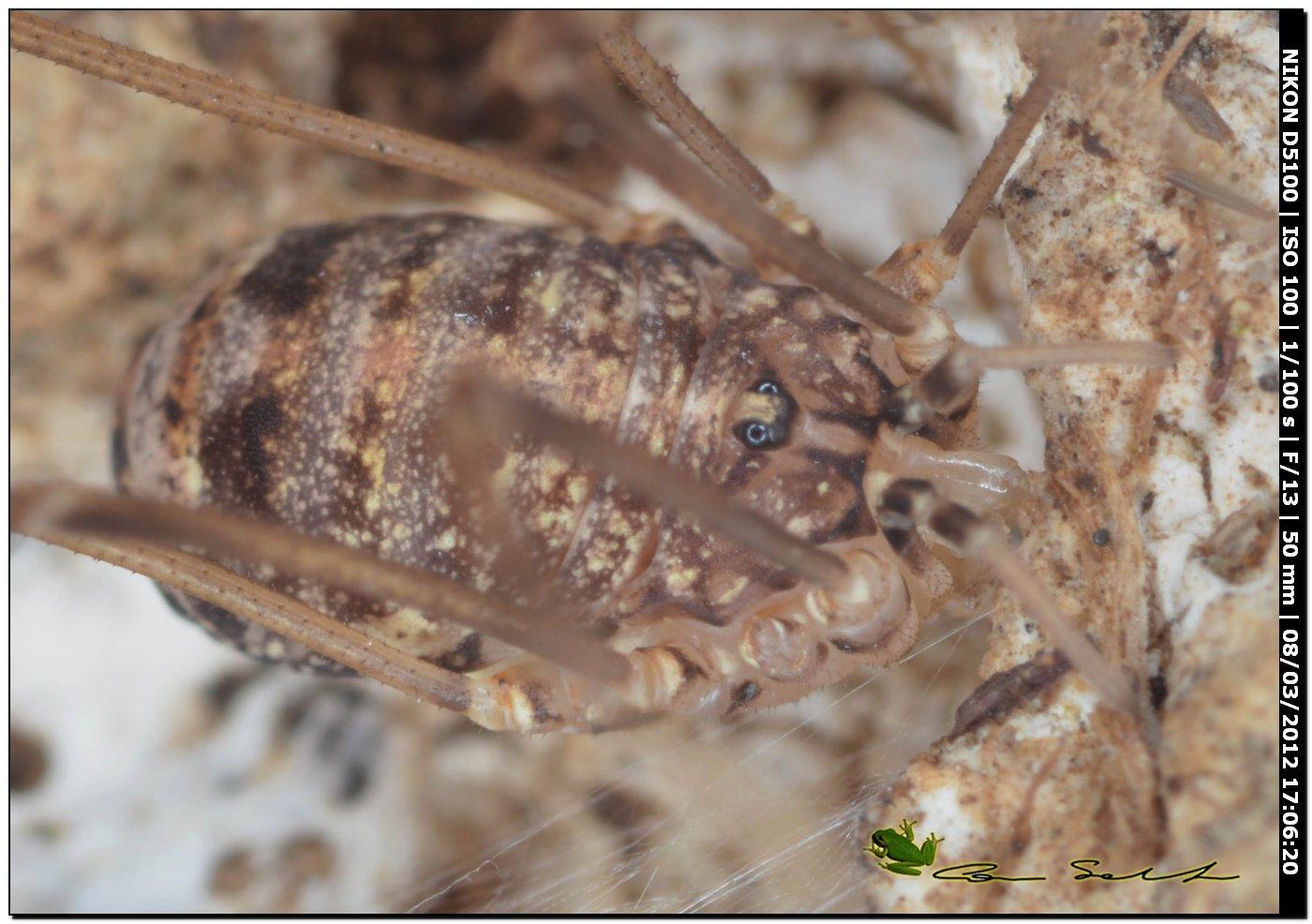 Nelima doriae da Usini - No 38