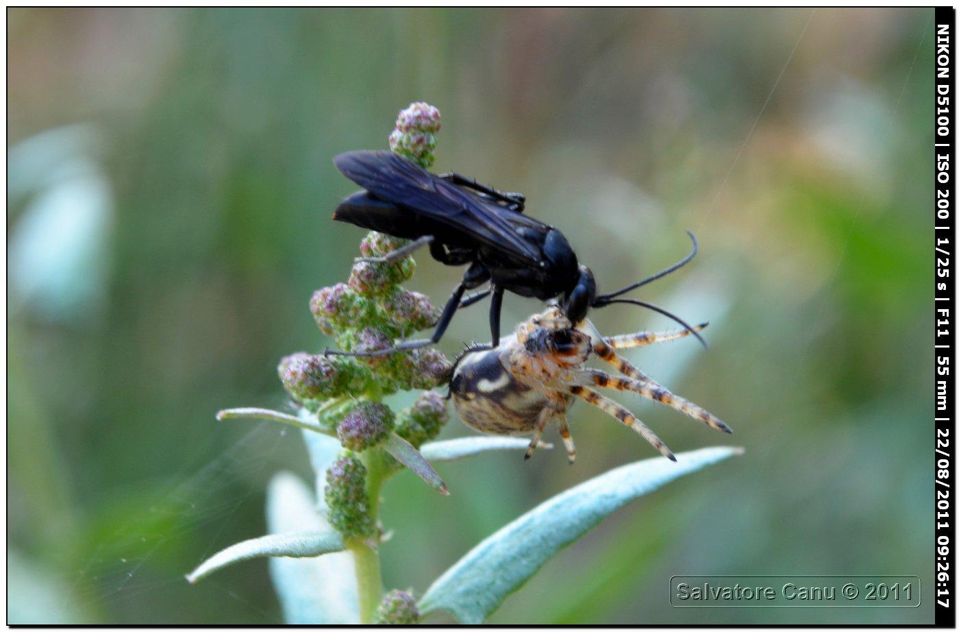 Pompilidae con ragno: cfr. Episyron sp.