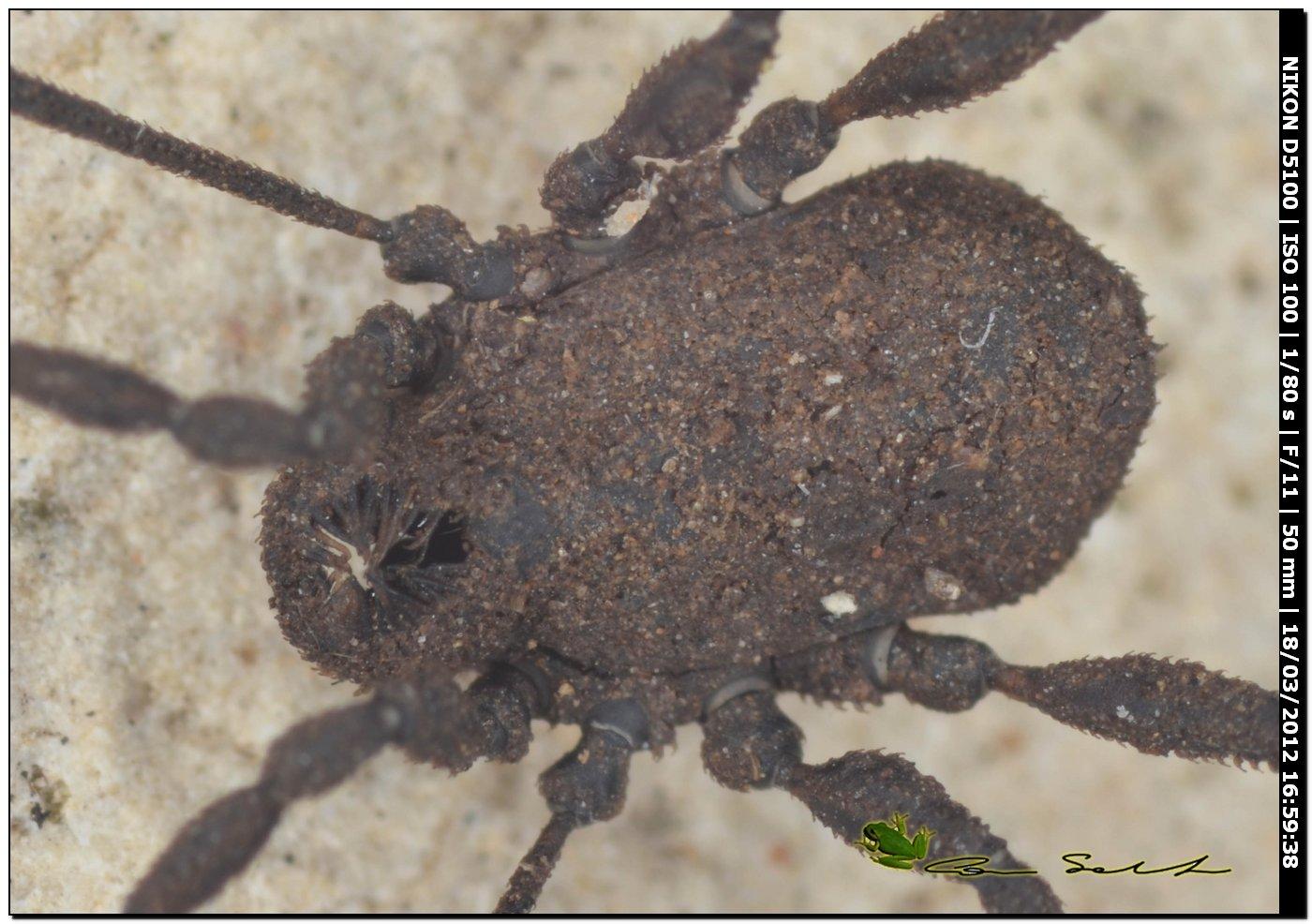 Dicranolasma soerenseni da Bessude No 60 con biotop