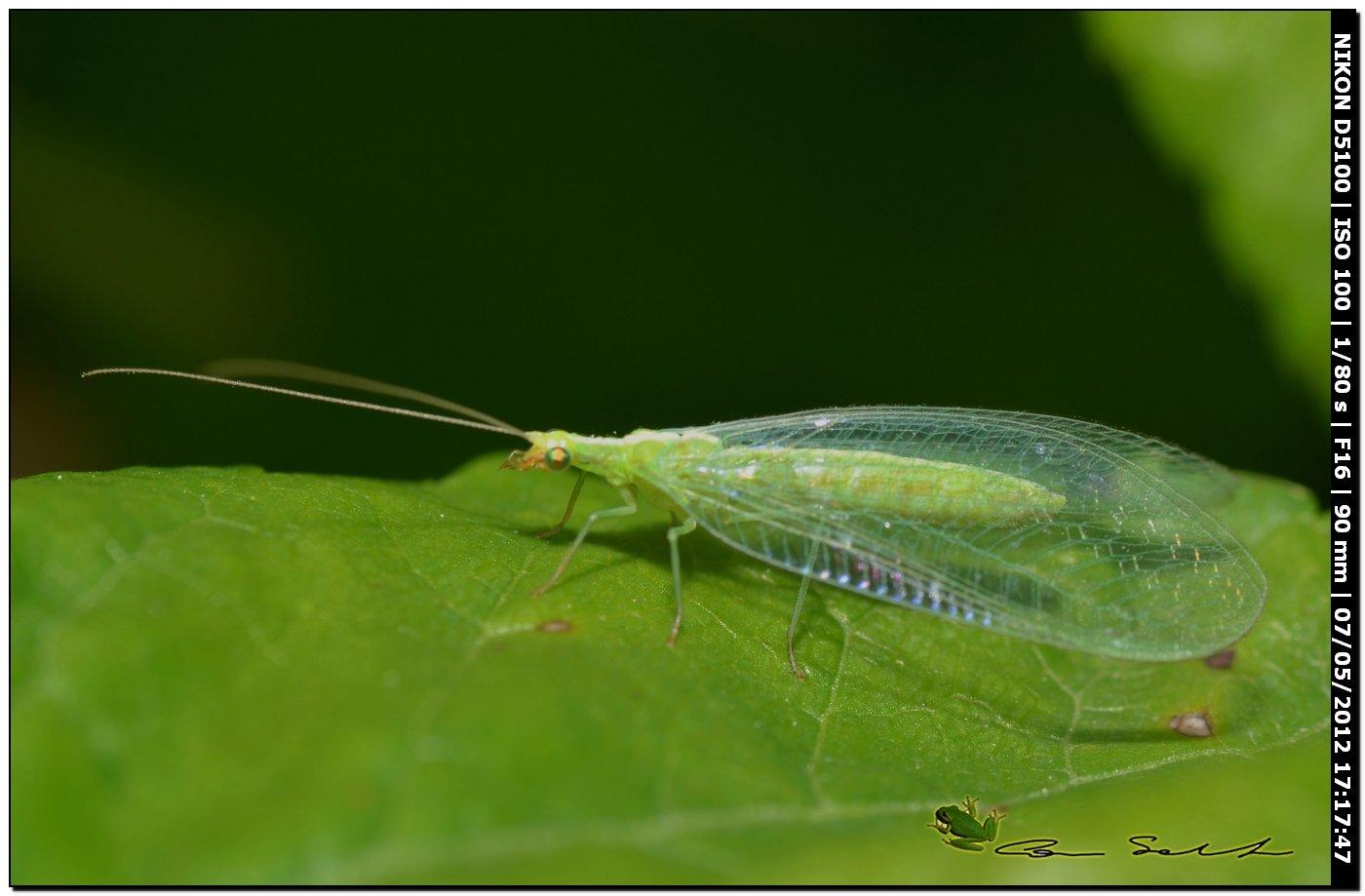 Chrysoperla lucasina