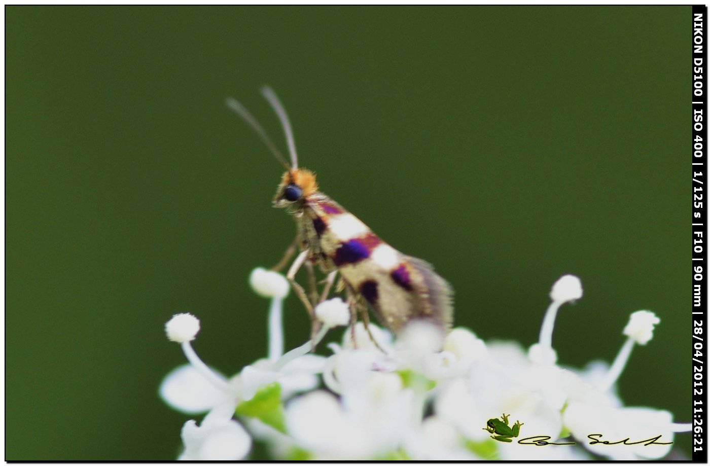 Micropterix?