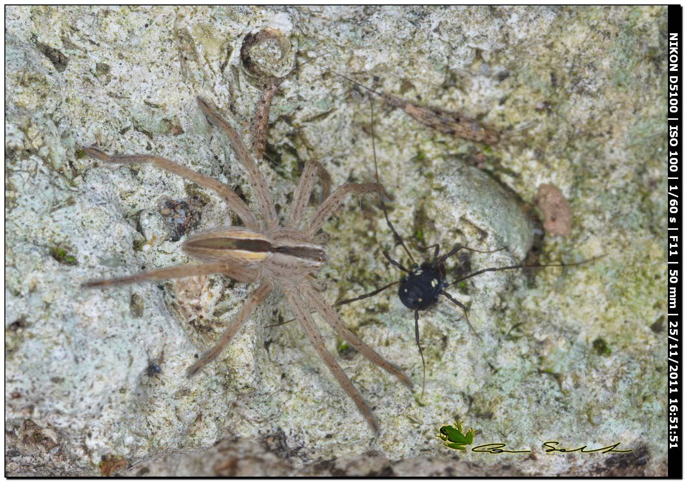 Nemastomatidae: Histricostoma argenteolunulatum [e ragno Micrommata cfr. ligurina]