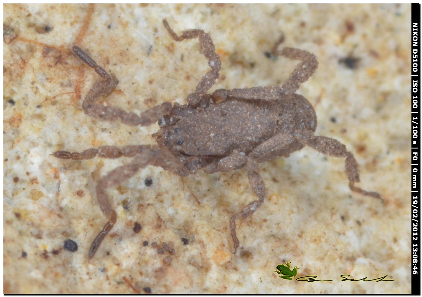Anelasmocephalus brignolii da Ittiri (Sardegna)