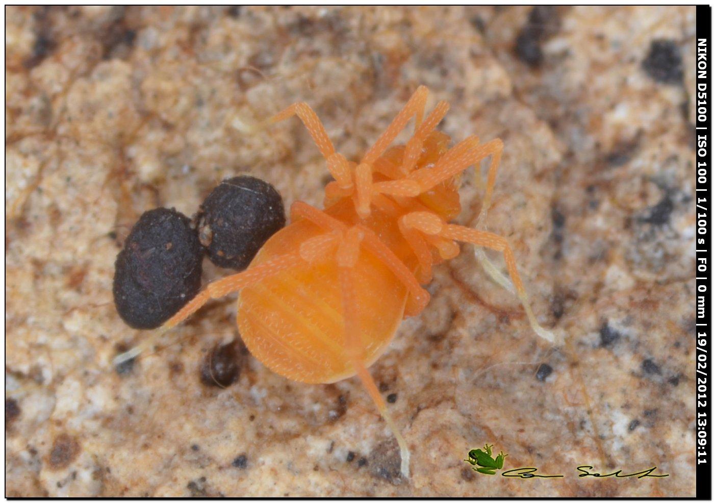 Scotolemon doriae/terricola? da Ittiri (Sardegna)