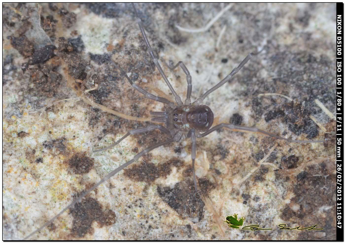Opilione da Usini 21: Histricostoma argenteolunulatum