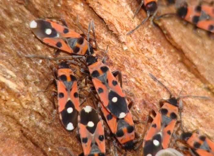 Lygaeidae: Horvathiolus cf syriacus dell''Algarve (P)