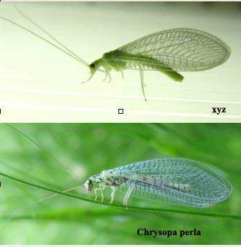 Chrysopa viridana