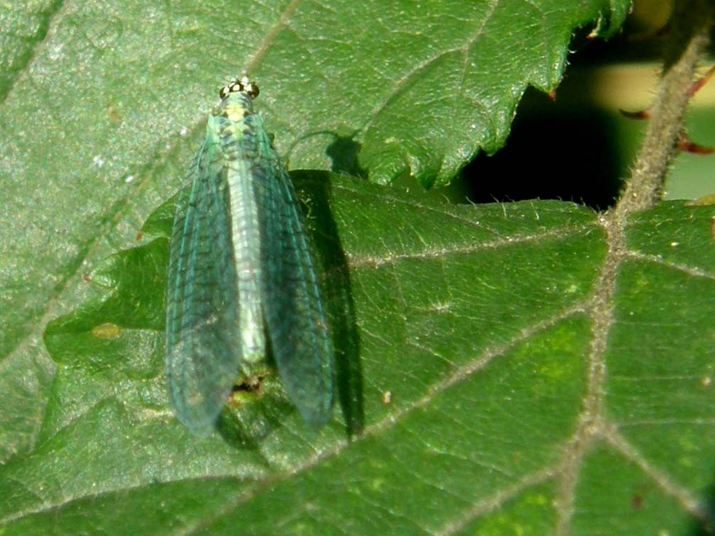 Chrysopidae da identificare - Chrysopa perla