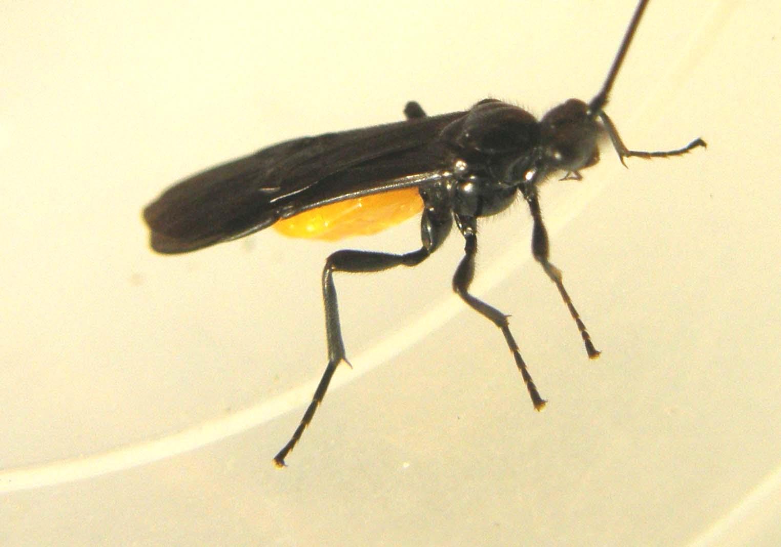 Elicottero Nero E Giallo : Nero con addome giallo arancio braconidae forum natura