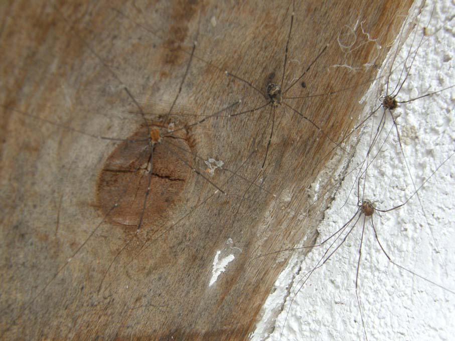 Gruppo di Opilioni: Leiobunum limbatum