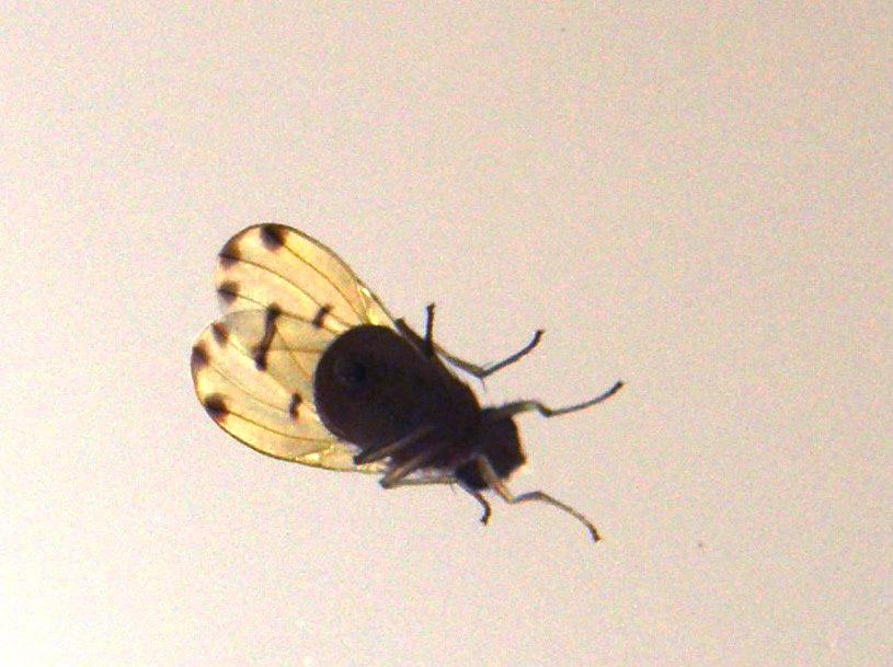 Ali variegate:Meiosimyza decempunctata