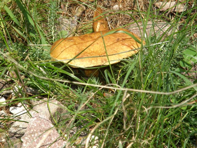 Boletacea (Suillus?) da identificare