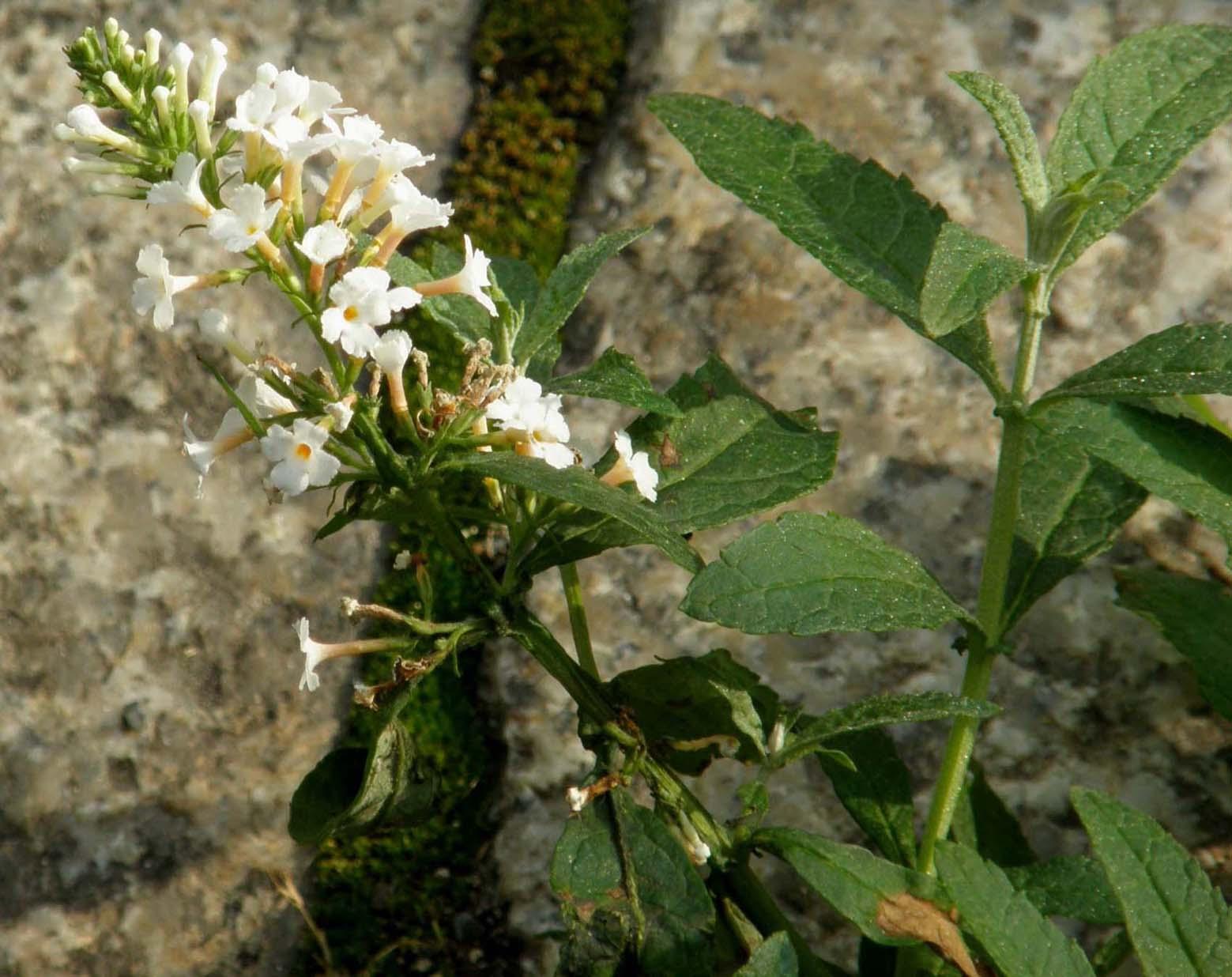 Alla base di un paracarro buddleja davidii var alba - Serenelle fiori ...