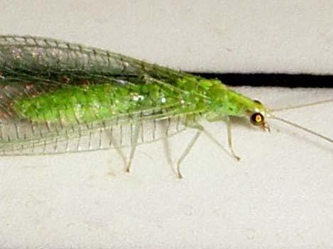 Dichochrysa flavifrons
