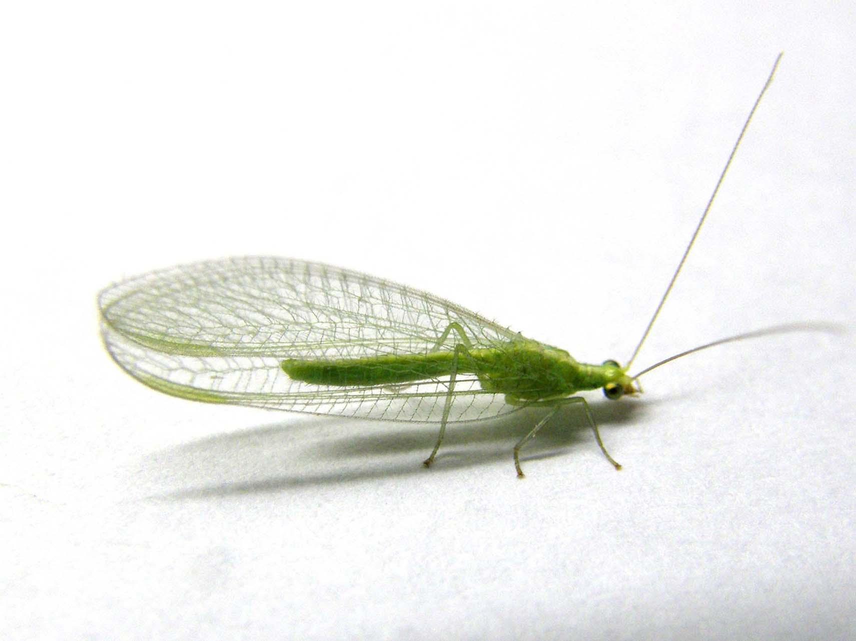 Chrysoperla sp.