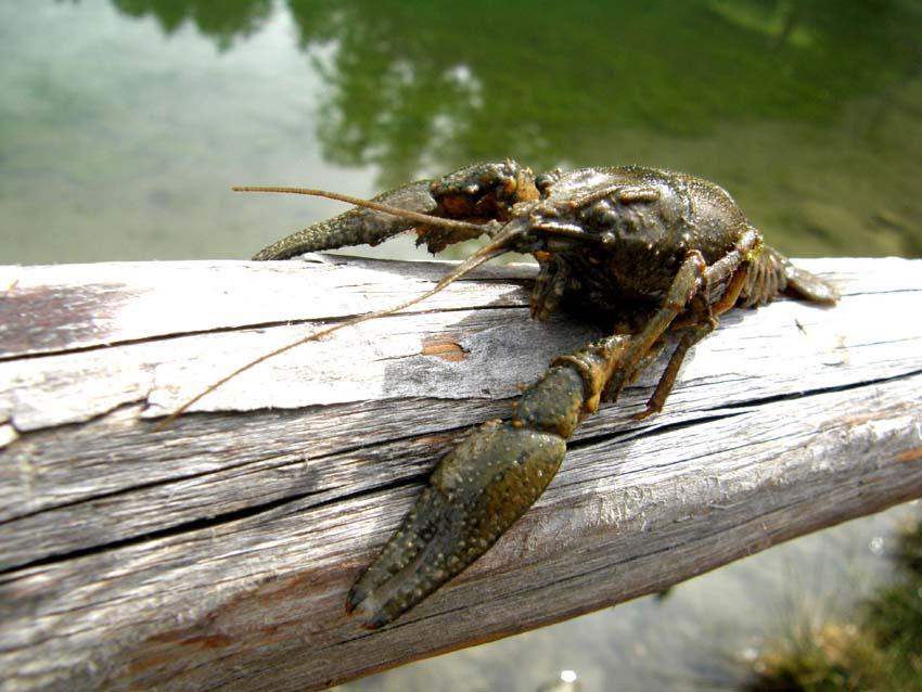 Gambero d''acqua dolce Orconectes limosus