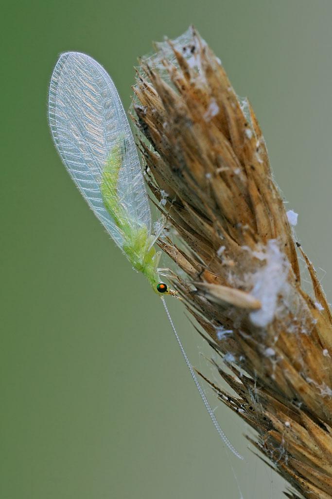 Chrysopidae da ID - Chrysoperla pallida