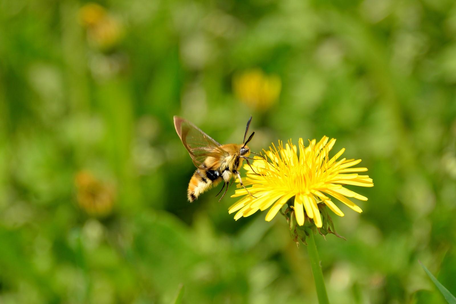 Bombylius maior ? No,  Lepidoptera Sphingidae: Hemaris tityus