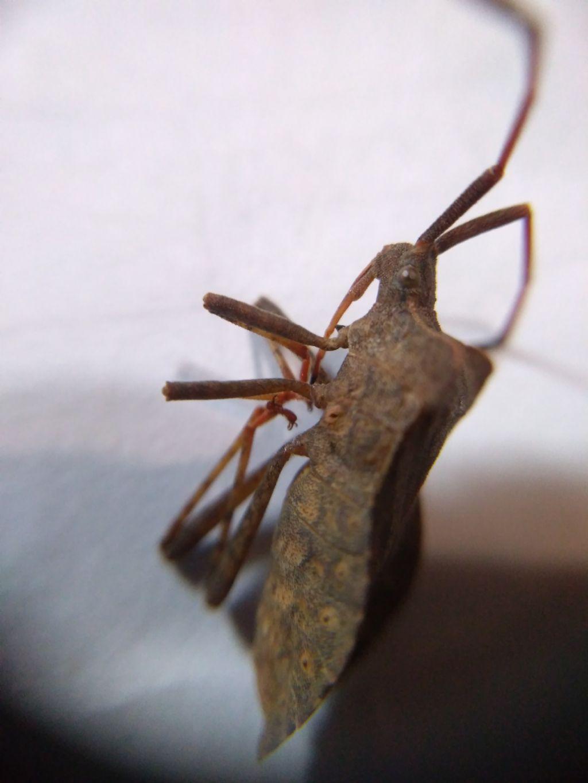 Gonocerus acuteangulatus?No, Coreus marginatus
