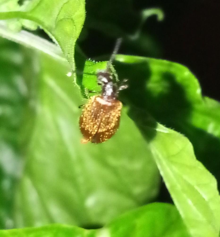 Tenebrionidae Lagriinae: Lagria sp.