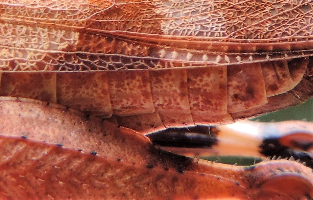 Oedipoda caerulescens caerulescens: caratteri diagnostici