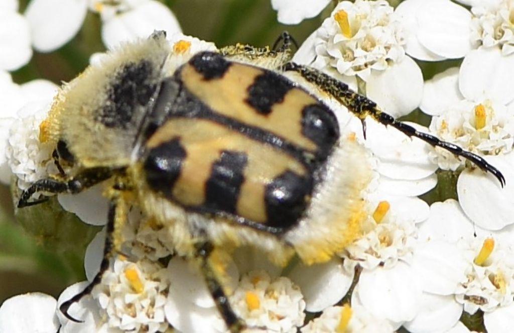 Cetoniidae: Trichius zonatus (cfr.)