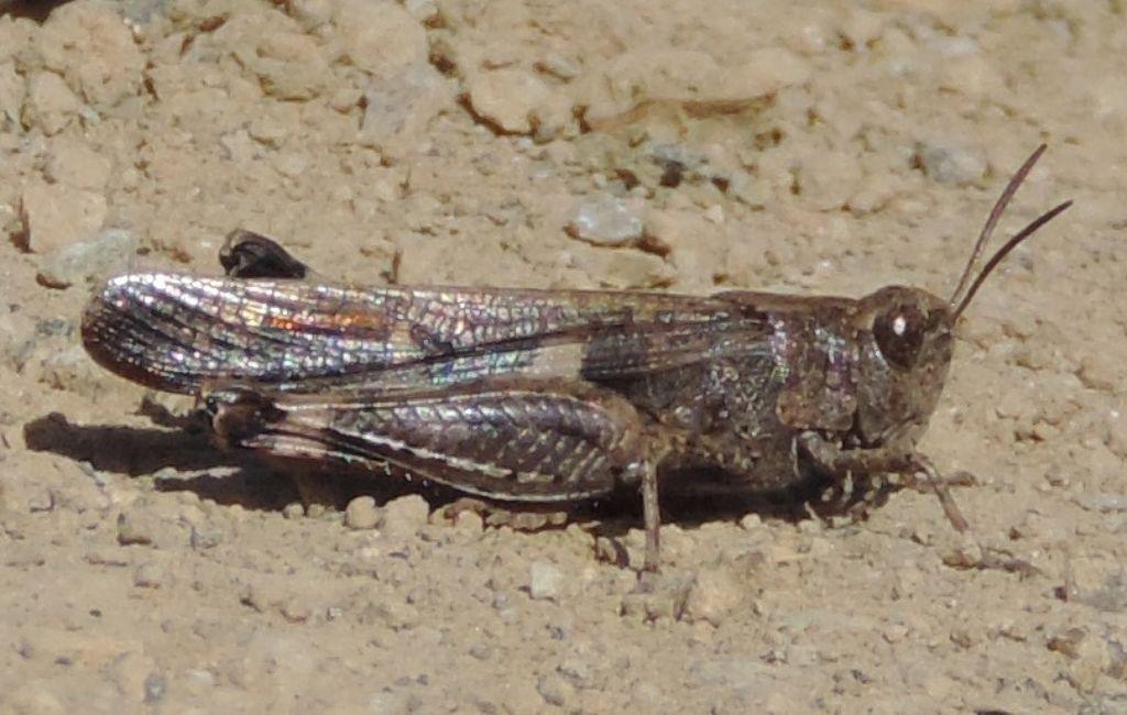 Aiolopus strepens