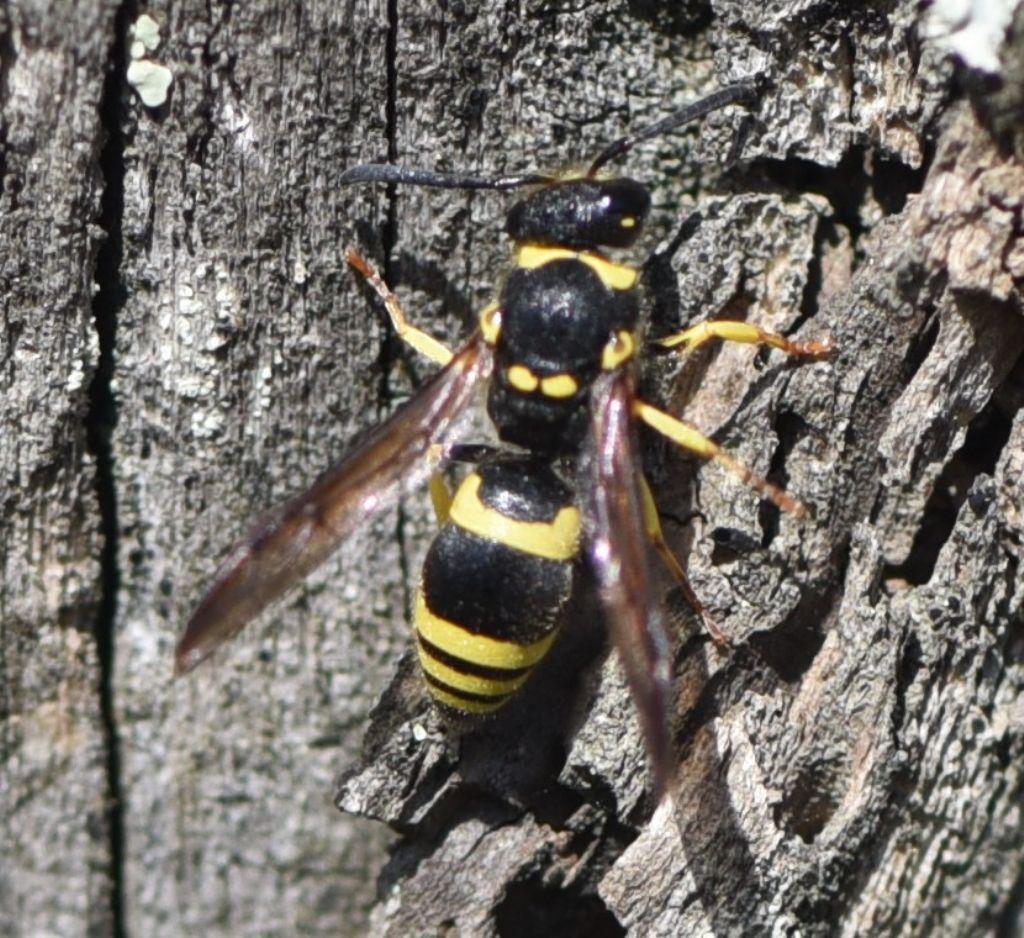 Vespidae Eumeninae: Ancistrocerus longispinosus