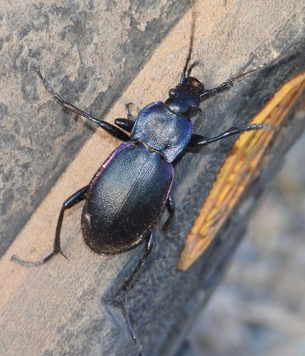 Carabus violaceus? sì, ssp. picenus