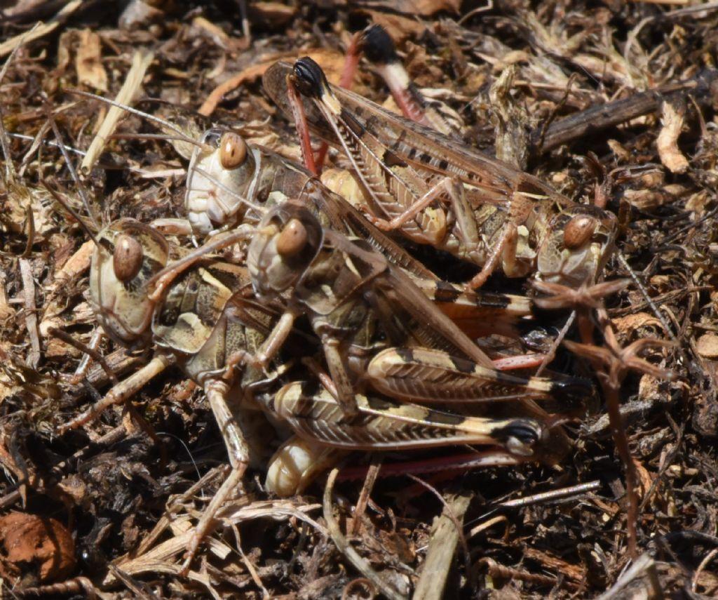 Dociostaurus maroccanus: deposizione e competizione tra maschi. Canto