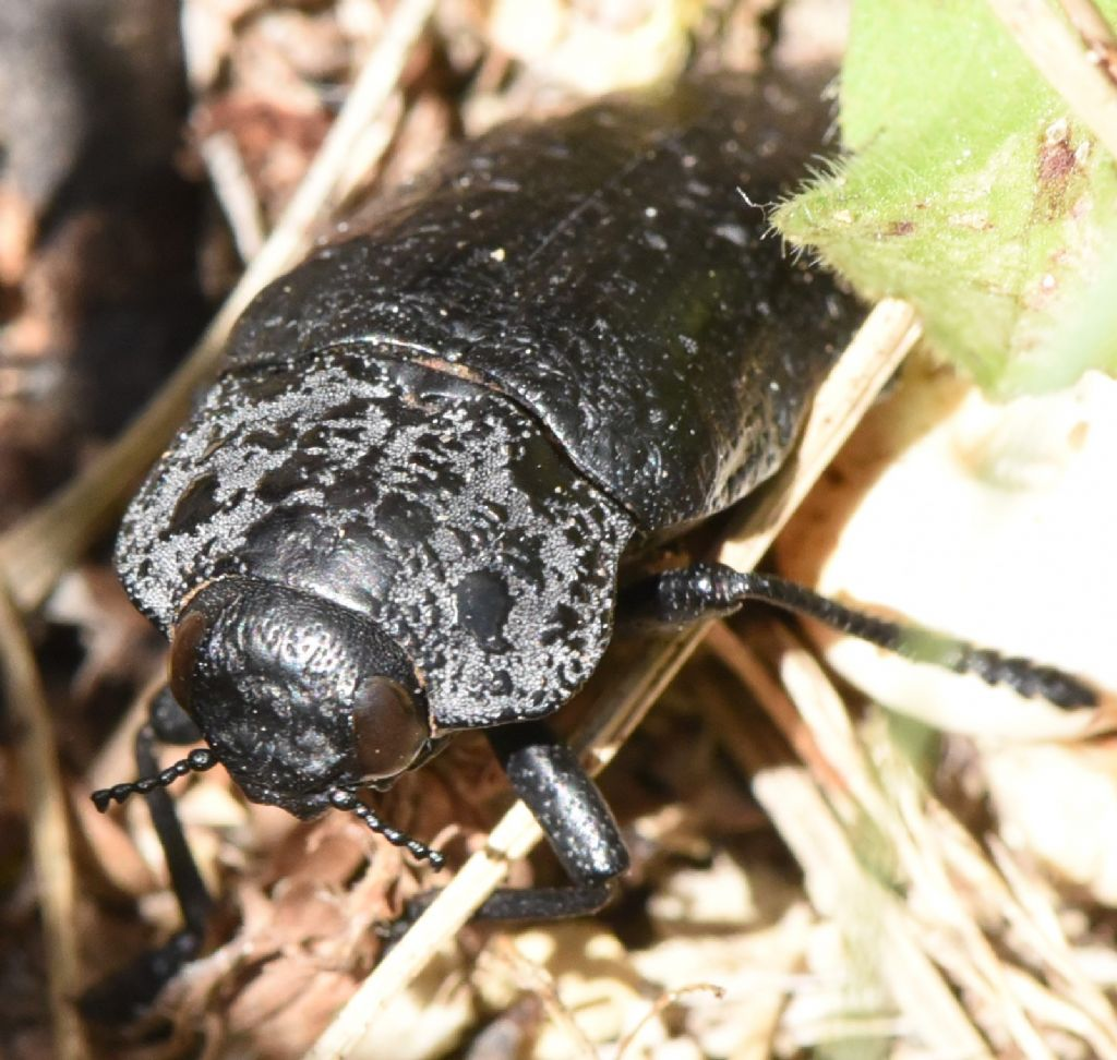 Buprestidae: Capnodis tenebrionis? Sì !