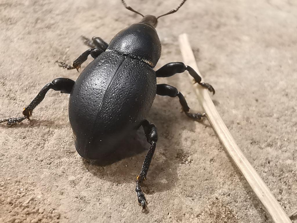 Curculionidae. Liparus coronatus