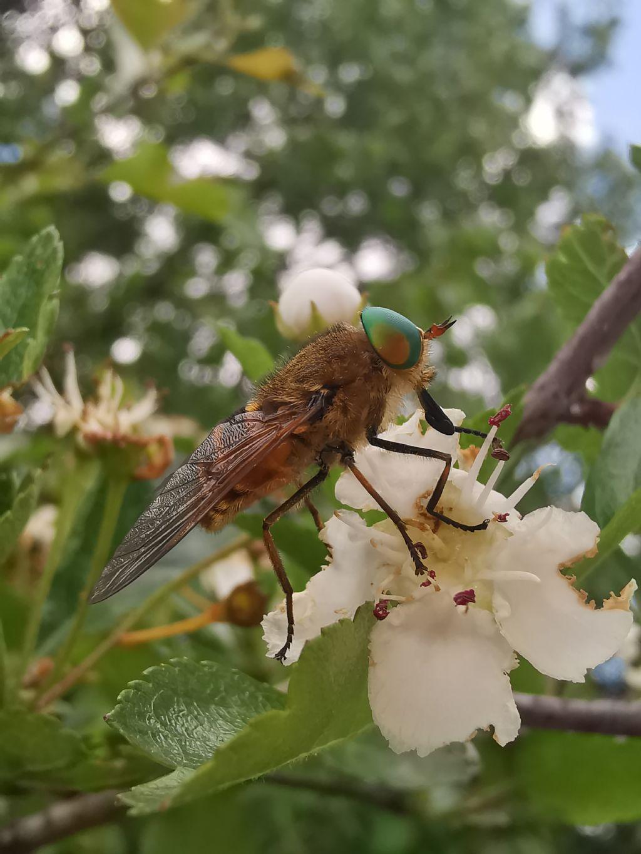 Philipomyia aprica?... cfr. aprica
