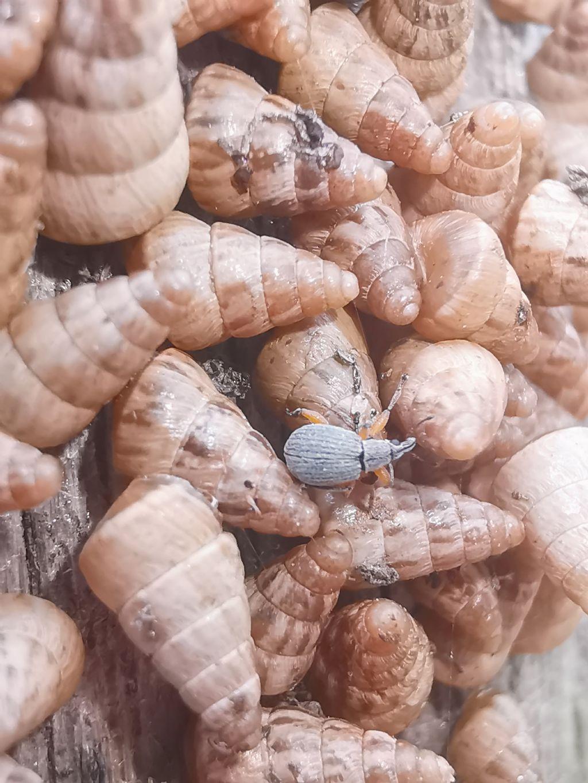 Apionidae da ID