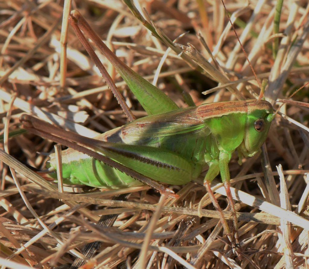 Bicolorana bicolor nel Parco Nazionale dei Monti Sibillini: nuova per le Marche