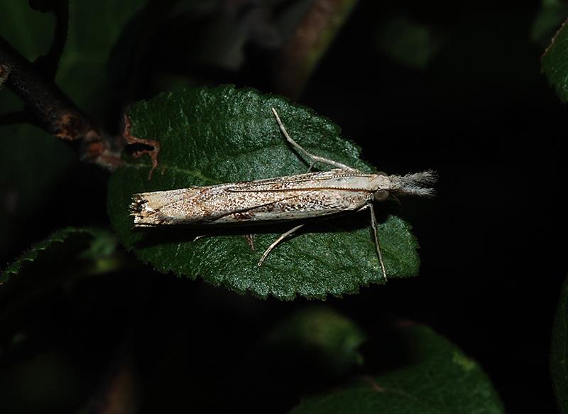 In alto mare… Agriphila geniculea? Agriphila sp?   Agriphila sp.